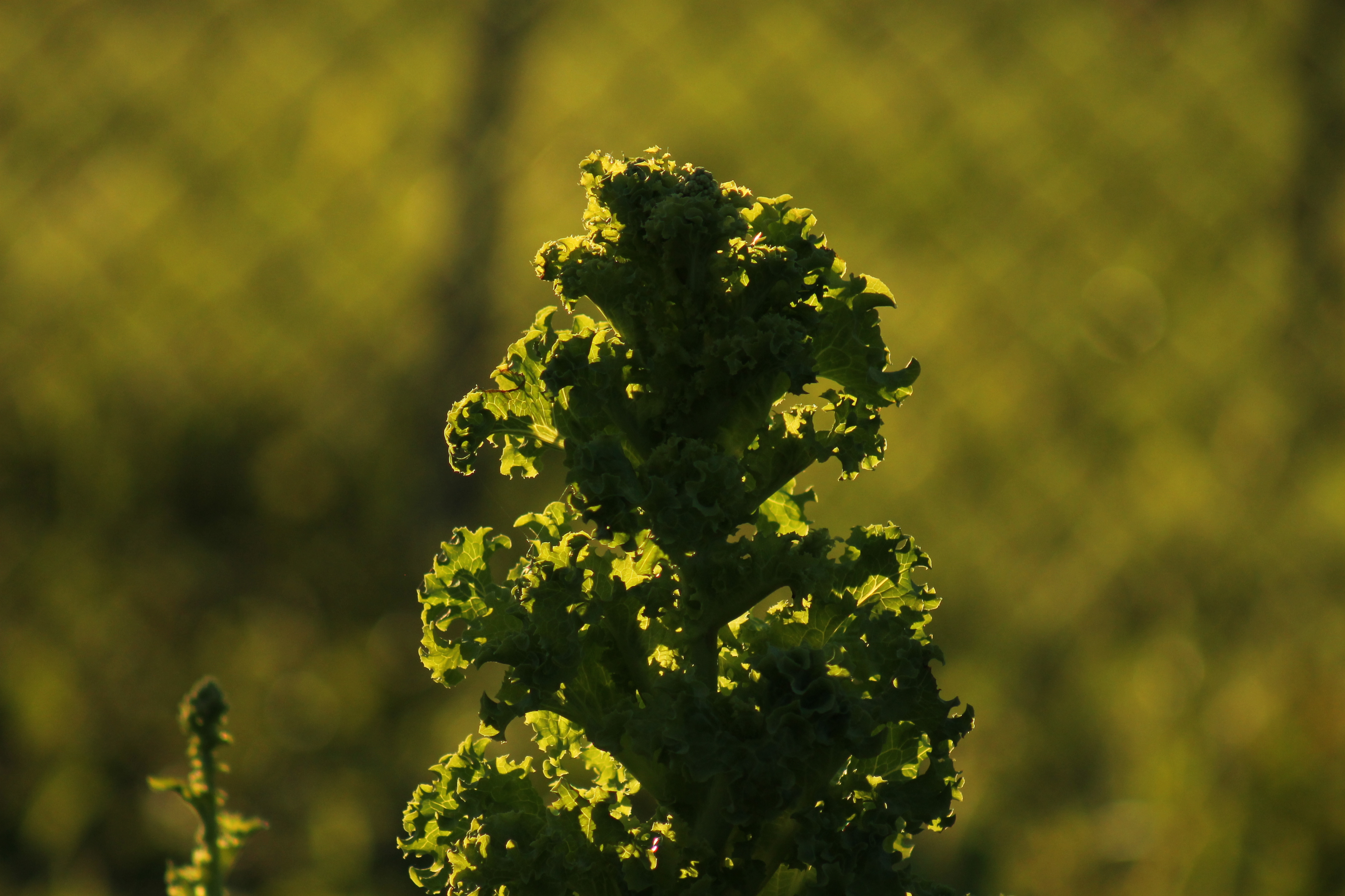 Sun lit lettuce with a blurred wire fence backdrop