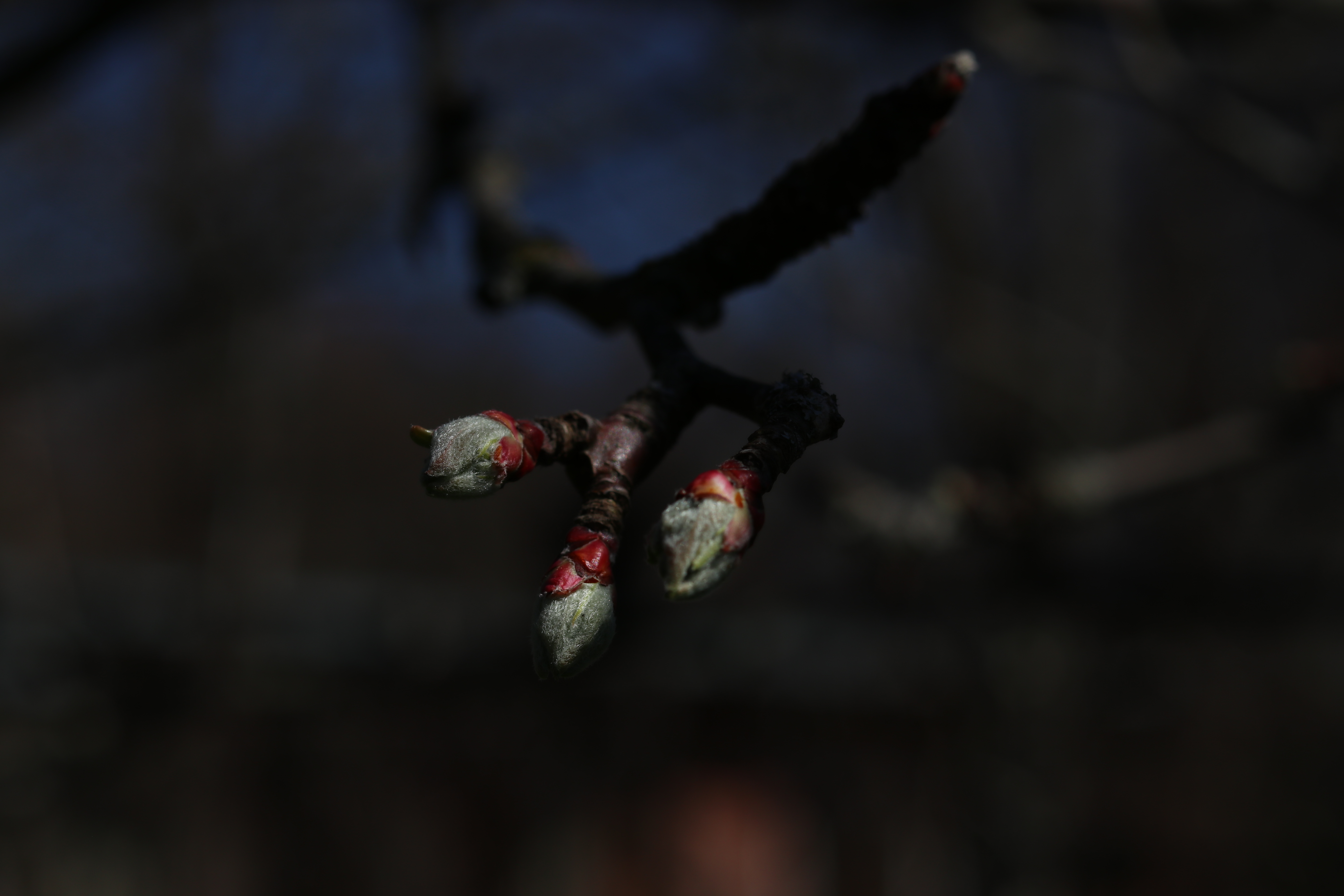 Bud on an apple tree branch shedding its armor