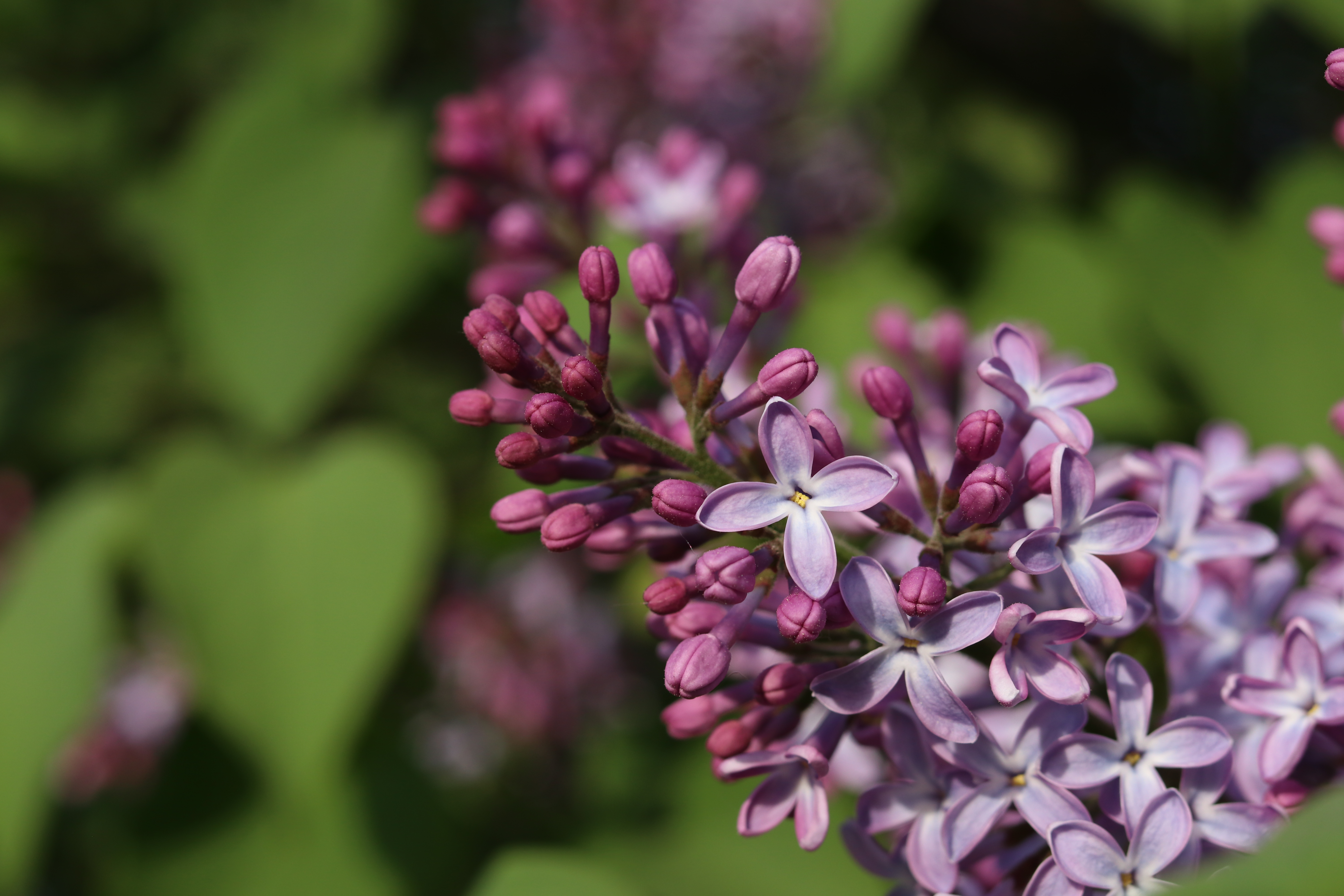 Open and closed lilac blossoms