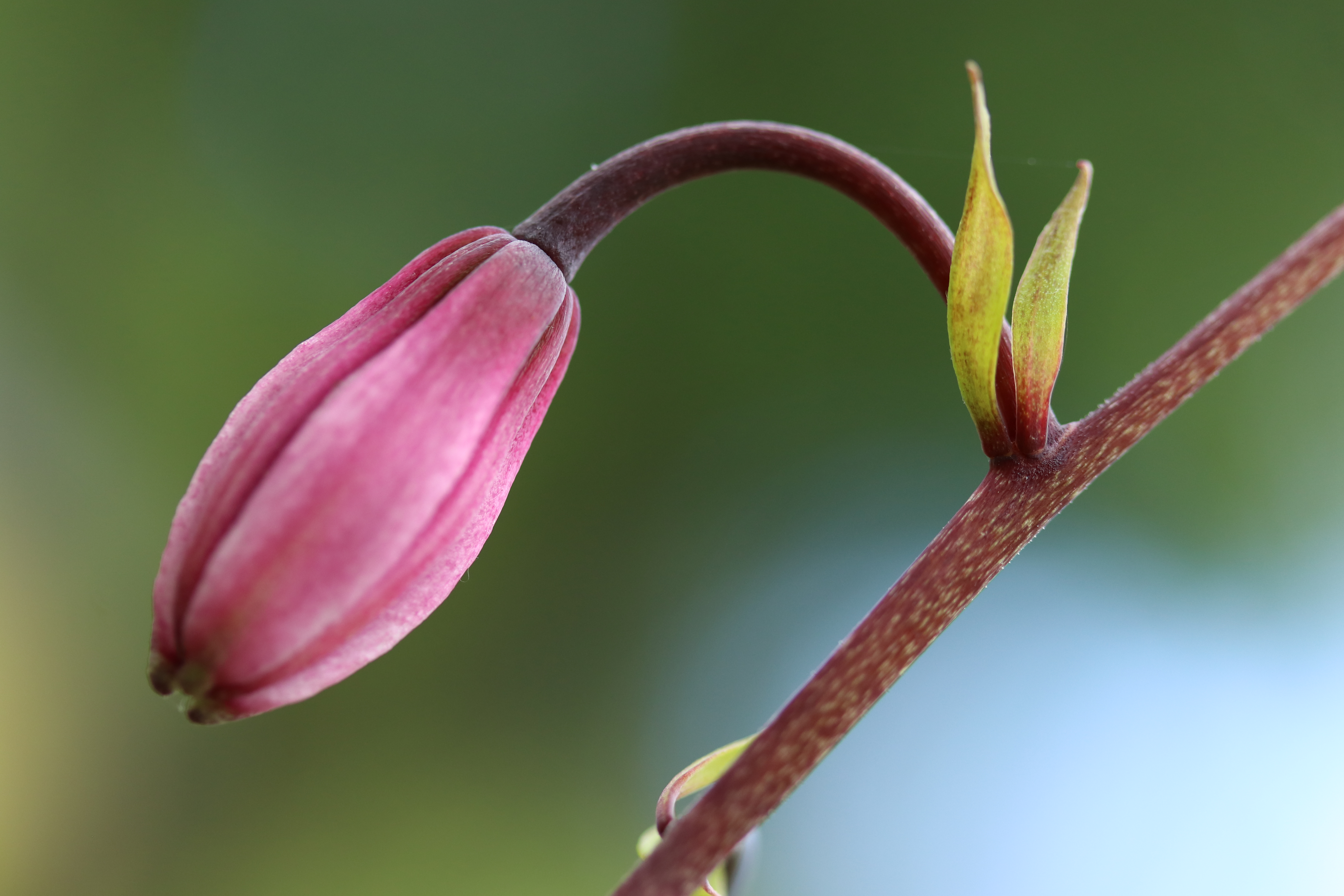 Flower bud with tiny leaves