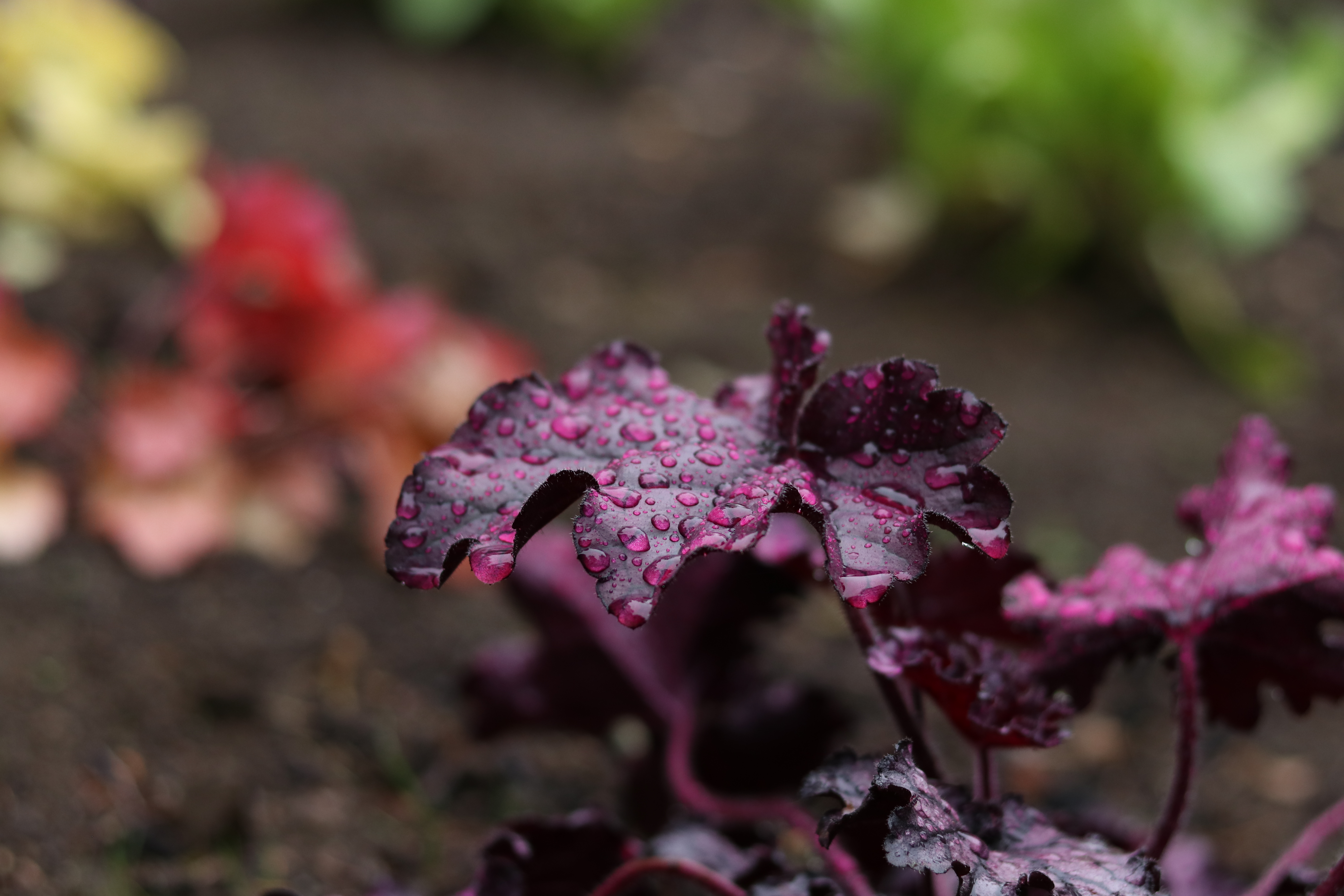 Purple leaves with raindrops